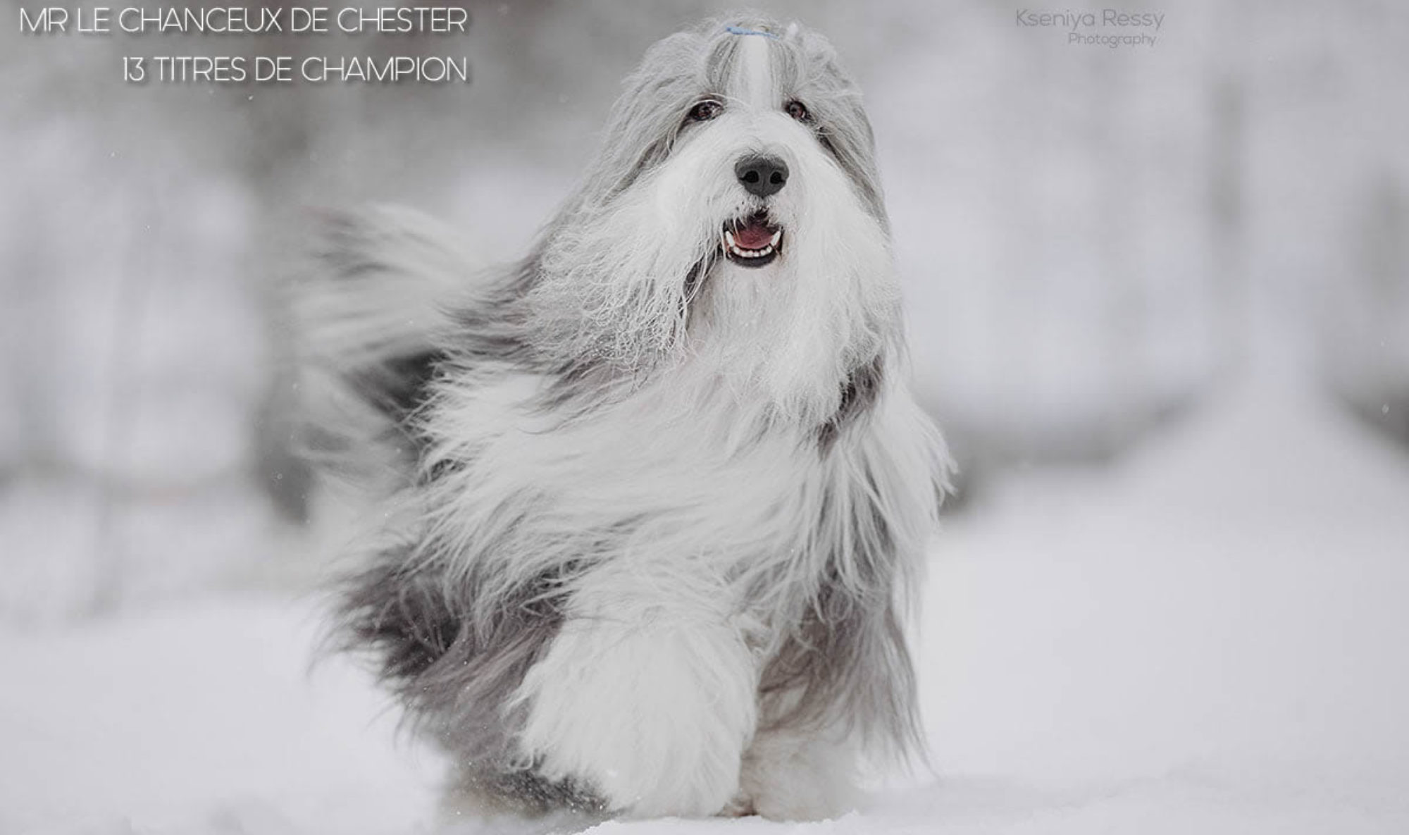DE CHESTER-bearded collie